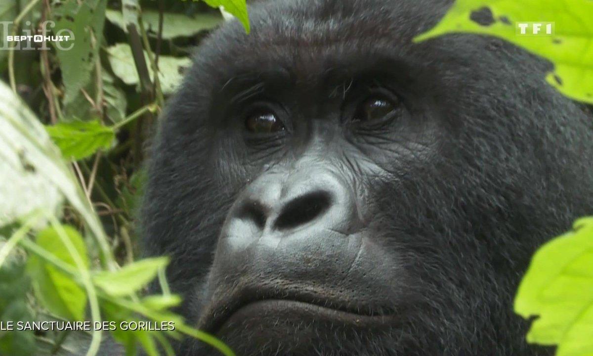 À la découverte du sanctuaire des gorilles au Congo