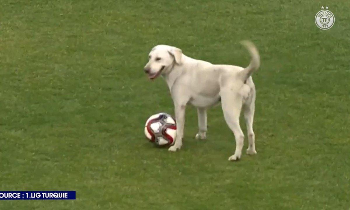 Un chien rentre sur le terrain en plein match