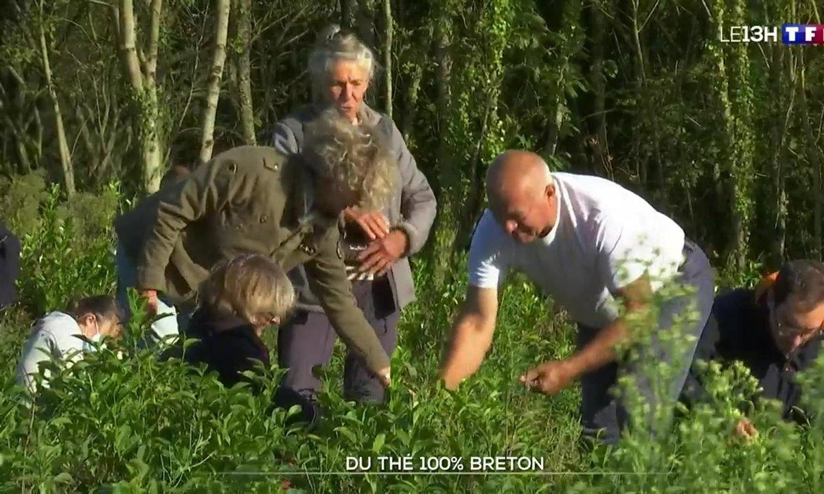 Du thé 100% breton, le défi réussi d'un producteur du Finistère