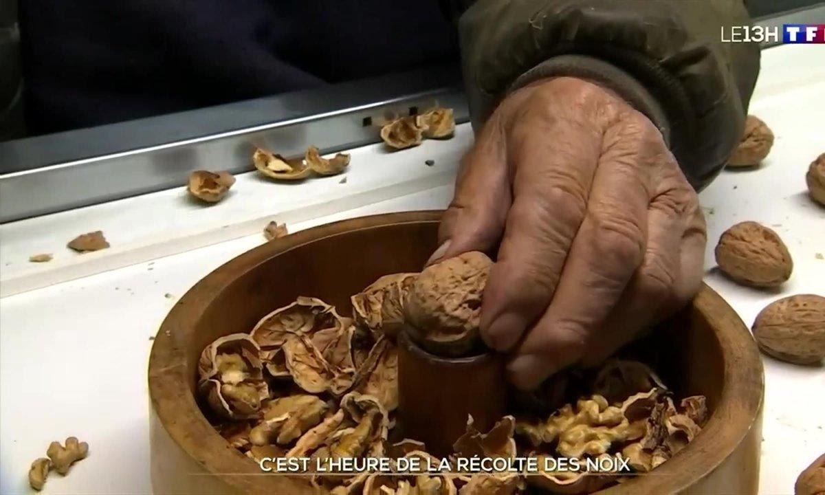 La récolte de la noix de Grenoble lancée en Isère