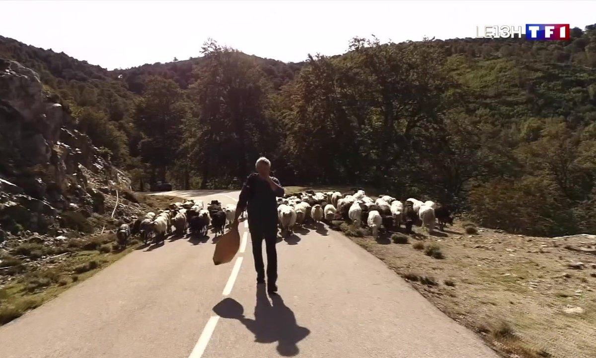 La transhumance des moutons en Corse