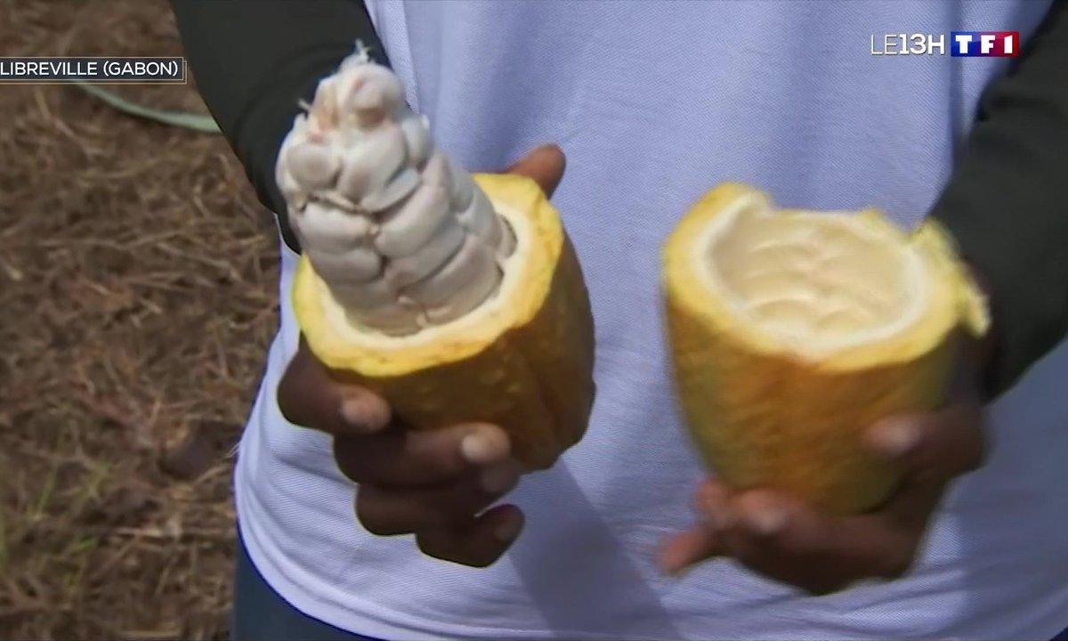 Le cacao du Gabon, une matière première d'exception