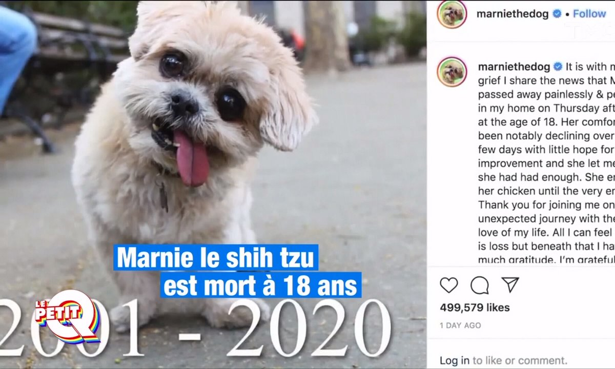 Le Petit Q : Marnie The Dog, star d'Instagram, n'est plus