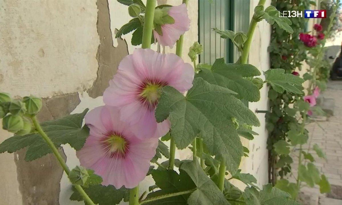 Les fleurs sauvages embellissent rues et jardins de l'île de Ré