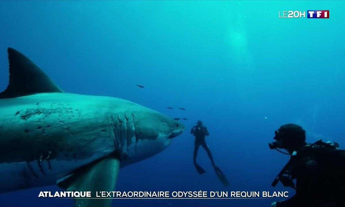 Nukumi, énorme femelle requin blanc, en route vers l'Europe