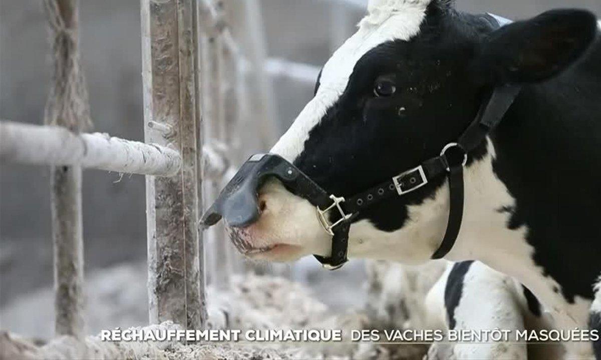 Réchauffement climatique : des masques pour… les vaches