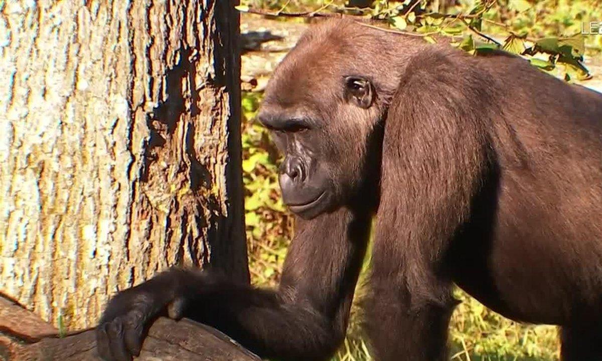 Troc des gènes : des singes bonobos transférés de la Vienne aux Pays-Bas