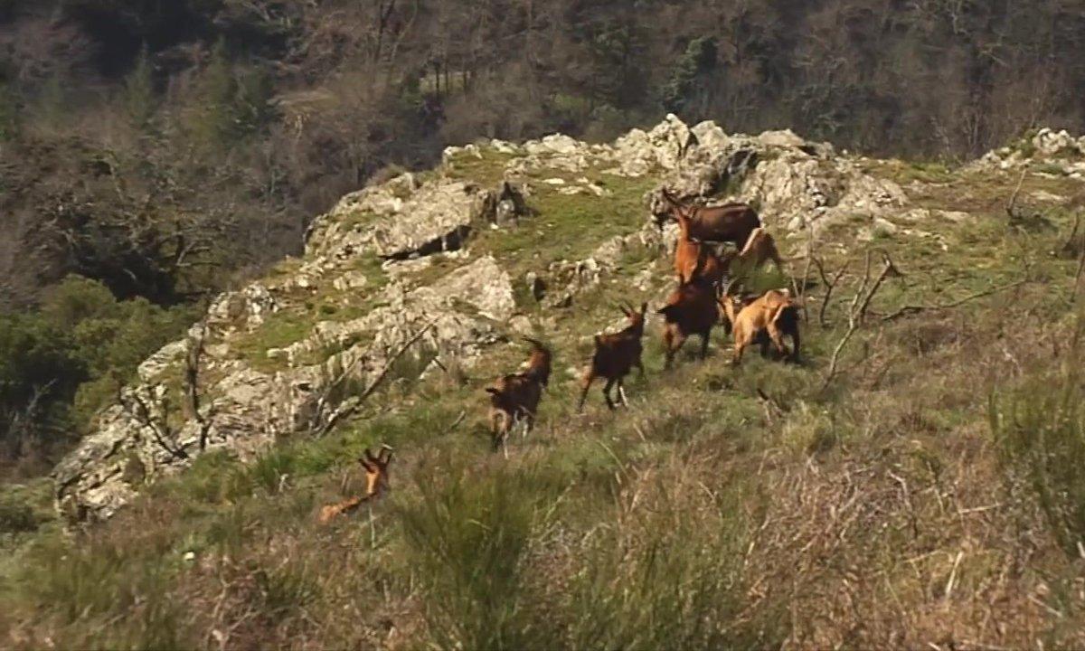 Un village du Tarn envahi par les chèvres sauvages
