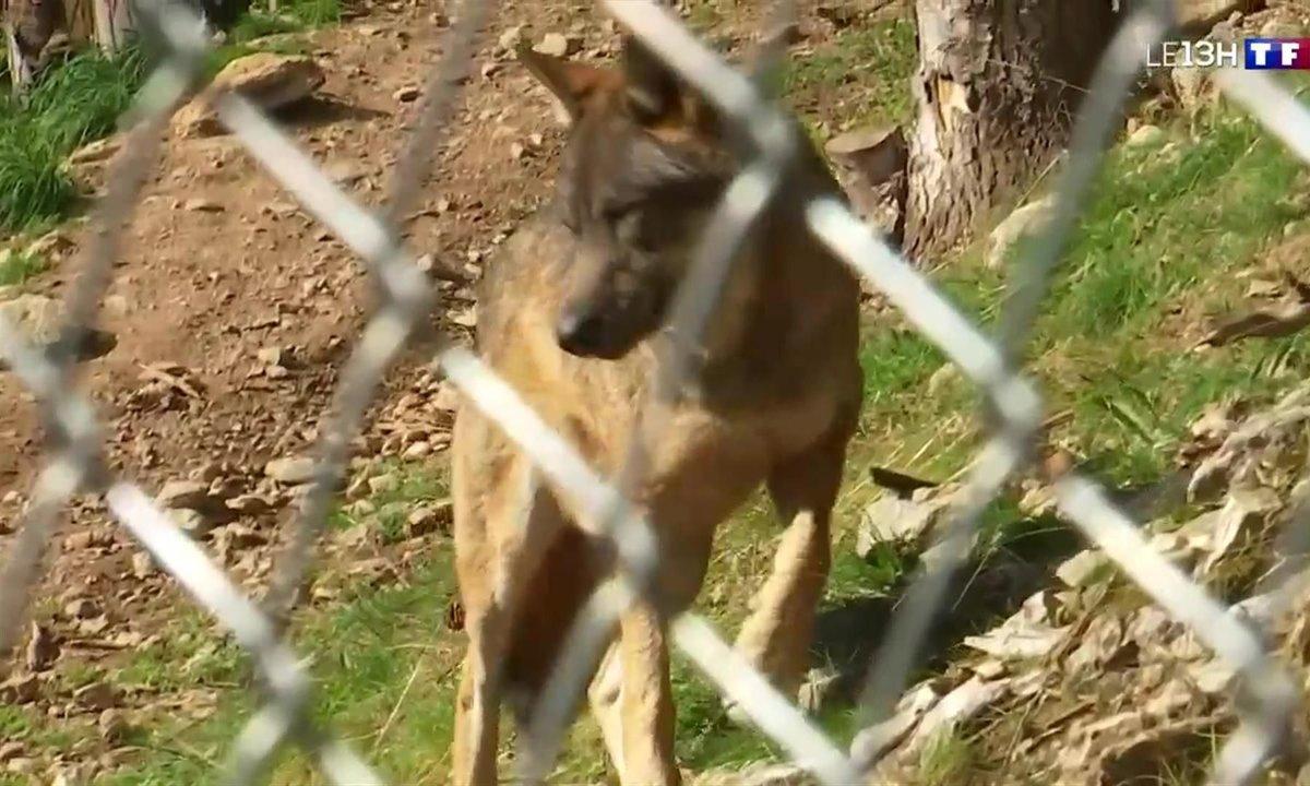 Une nouvelle meute de loup réintroduite dans le parc Alpha dans la vallée de Vésubie