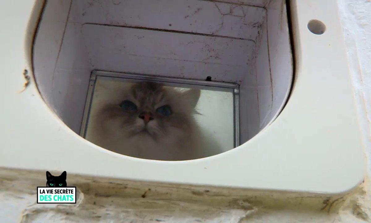 Astuce : comment inciter les chats à utiliser leur chatière