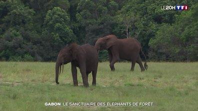 À la découverte des éléphants de forêt au Gabon