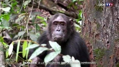 À la rencontre des derniers chimpanzés en Tanzanie