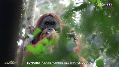 À la rencontre des orangs-outans de Tapanuli