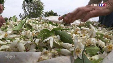 À Vallauris, il est temps de récolter les fleurs d'oranger