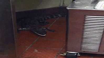 Insolite : il transporte un alligator dans son pick-up et le jette dans un fast-food