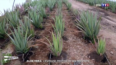 Aloe vera : l'Espagne profite de ses bienfaits