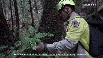 Australie : des pins préhistoriques sauvés des flammes