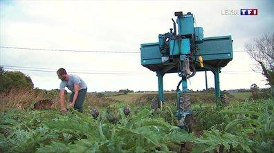 Bretagne : la dernière récolte d'artichauts bat son plein