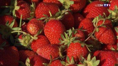 Bretenière : la cueillette des fraises, une récompense à portée de main