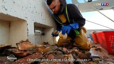 C'est la saison des coquilles Saint-Jacques dans les Côtes-d'Armor