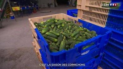 C'est la saison des cornichons dans la Sarthe