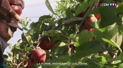 C'est la saison des pommes : premières récoltes aux vergers d'Anjou