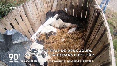 Cadavres, asticots, médicaments périmés : les images chocs de la L214 dans un élevage de veaux
