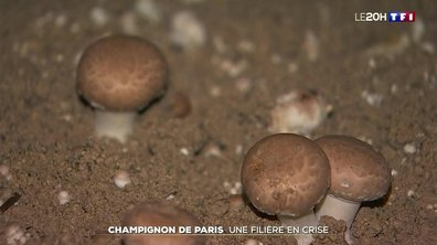 Champignon de Paris : une filière en crise
