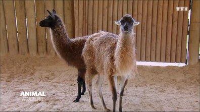 Leçon de dressage hors-norme pour lamas en colère