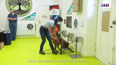 Coronavirus : des chiens entraînés à détecter les malades