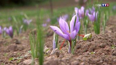 Dans la Creuse, comment récolte-t-on le safran, l'épice la plus chère au monde ?
