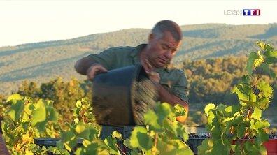 Des vendanges à Bandol dans les vignes de Monsieur Pascal
