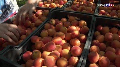 Drôme : la récolte des abricots bat son plein
