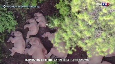 Éléphants de Chine: la fin de l'équipée sauvage