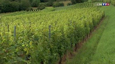 En Alsace, la météo pluvieuse inquiète les agriculteurs