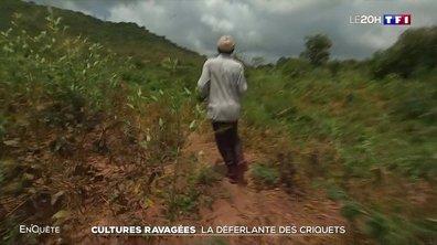 Enquête sur l'invasion de criquets qui ravage les cultures du Kenya