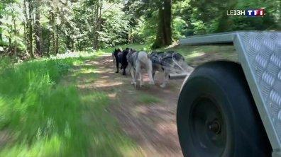 Faire du chien de traineau en été, c'est possible !