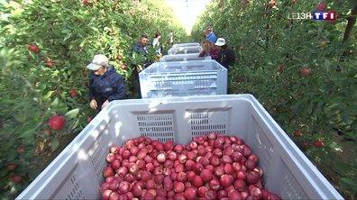 Grisolles : la récolte de la pomme a commencé