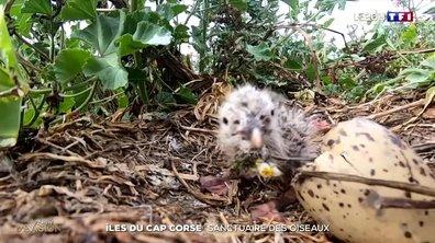 îles du Cap Corse : un sanctuaire pour les oiseaux