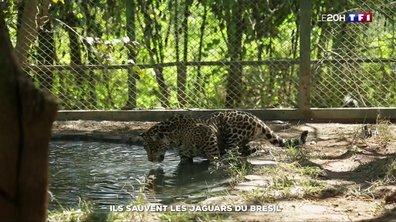 Ils sauvent les jaguars du Brésil de l'extinction