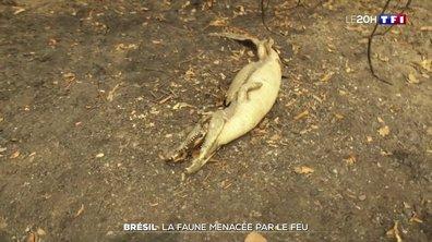 Incendies au Brésil : la faune du Pantanal menacée par le feu