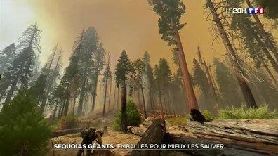 Incendies en Californie : les pompiers emballent un séquoia géant pour le sauver