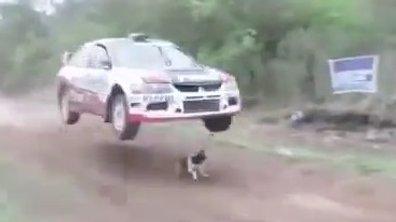 Insolite : le chien le plus chanceux du monde évite une voiture de rallye