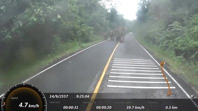 Insolite : un motard chargé par des éléphants !