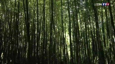 Jardins magnifiques : la plus grande bambouseraie d'Europe se trouve dans le Gard