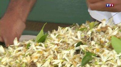 La fleur d'oranger, un produit récolté traditionnellement à Vallauris