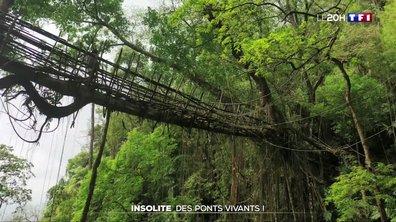 Insolite : des ponts vivants !