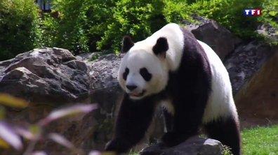 Zoo de Beauval : la naissance des jumeaux pandas scrutée de près