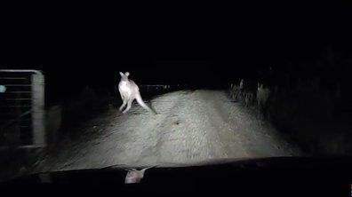 Insolite : un kangourou fou se jette sur sa voiture !
