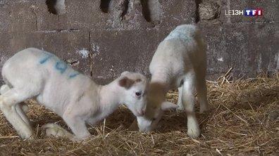 L'agnelage, une période aussi importante qu'attendrissante pour les éleveurs